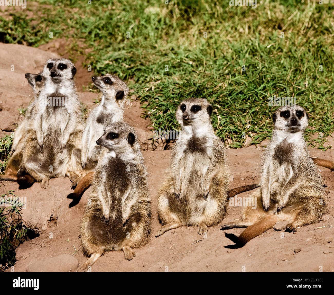 Six meerkats (suricata suricatta) - Stock Image
