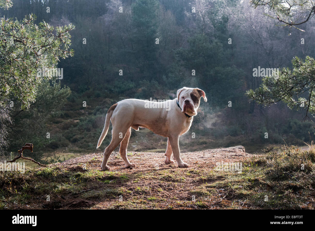 UK, England, West Midlands, Stoke-on-Trent, Old Tyme Bulldog at Park Hall in morning sunlight - Stock Image