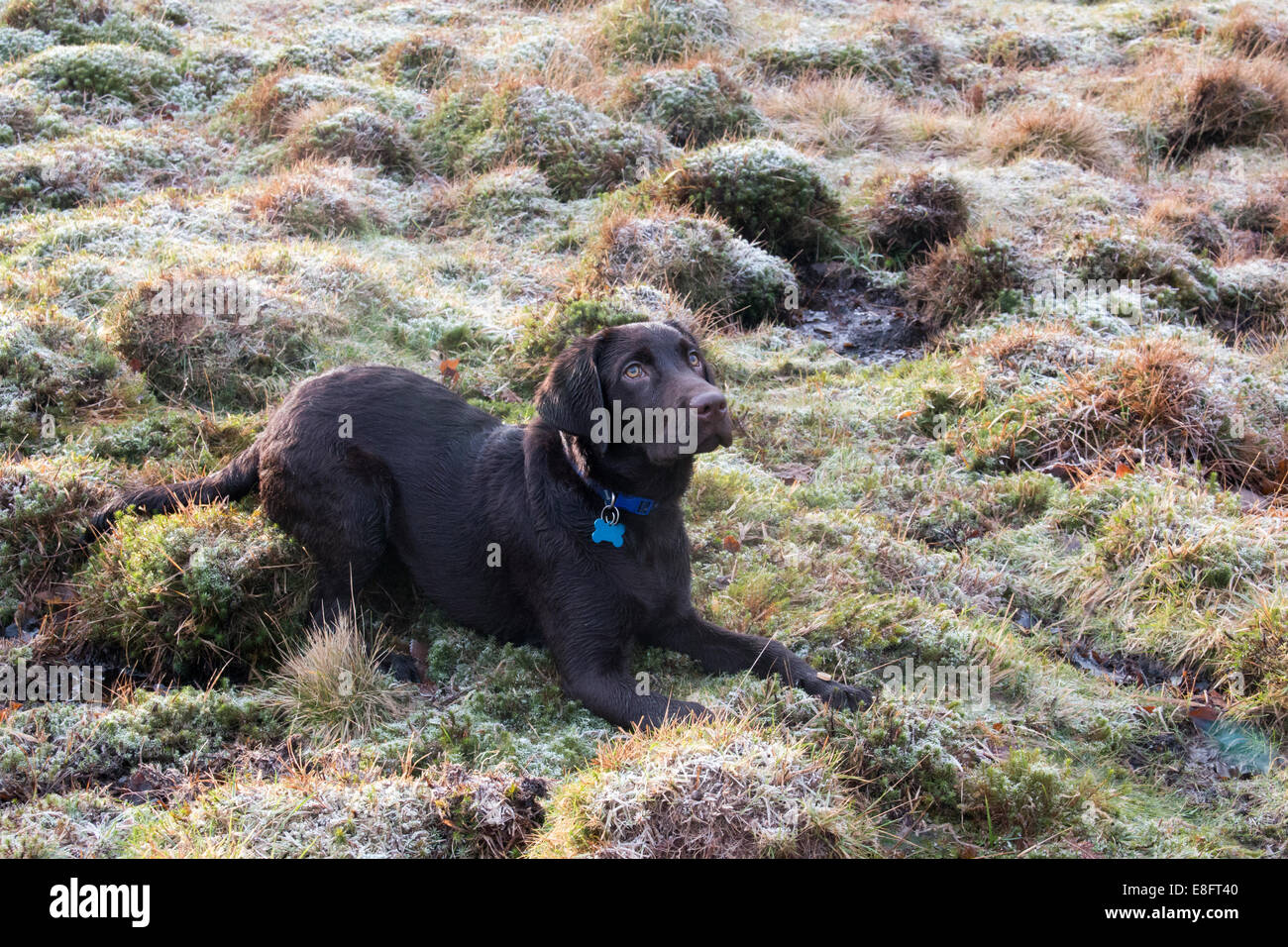 UK, England, West Midlands, Staffordshire, Downs Banks, Chocolate labrador puppy lying down on frosty grass - Stock Image