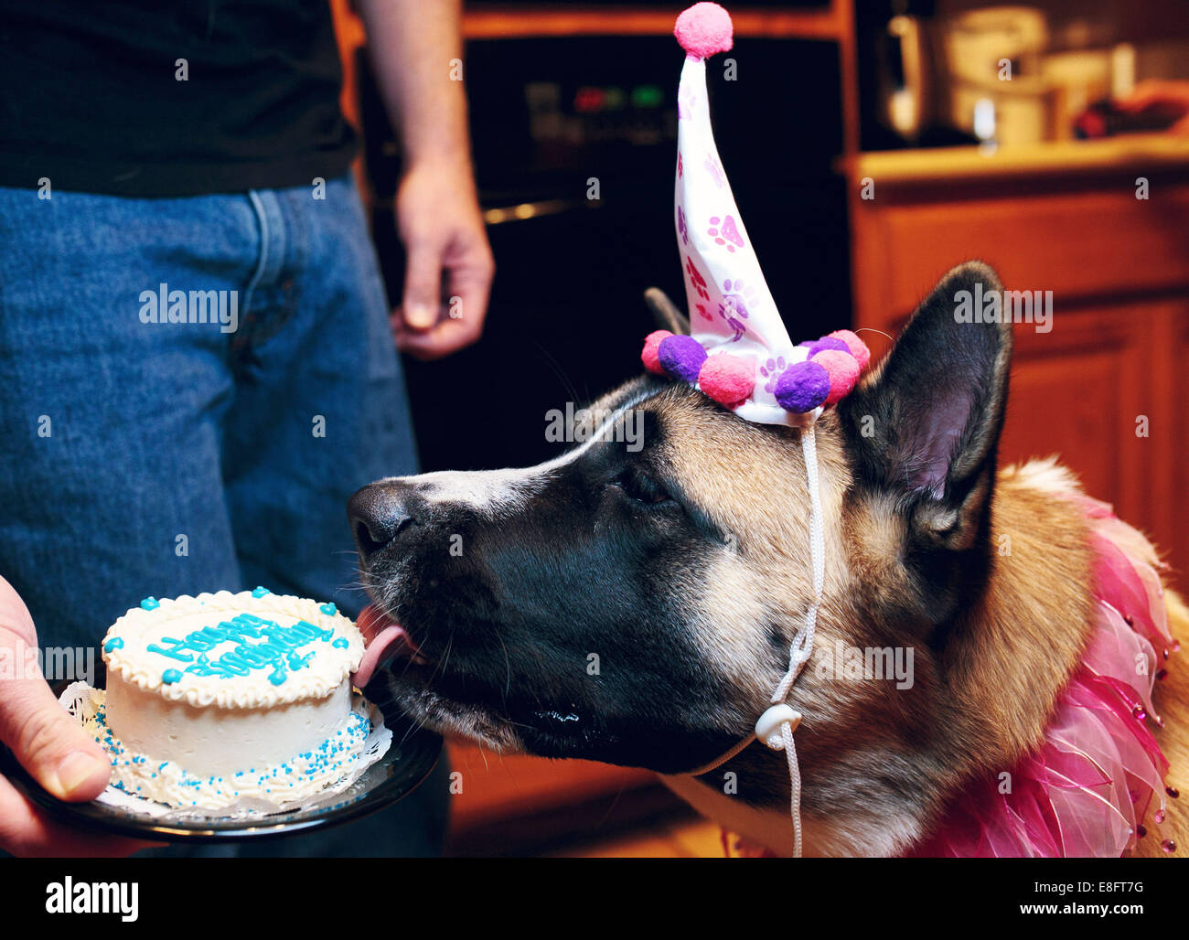 Dog licking birthday cake - Stock Image