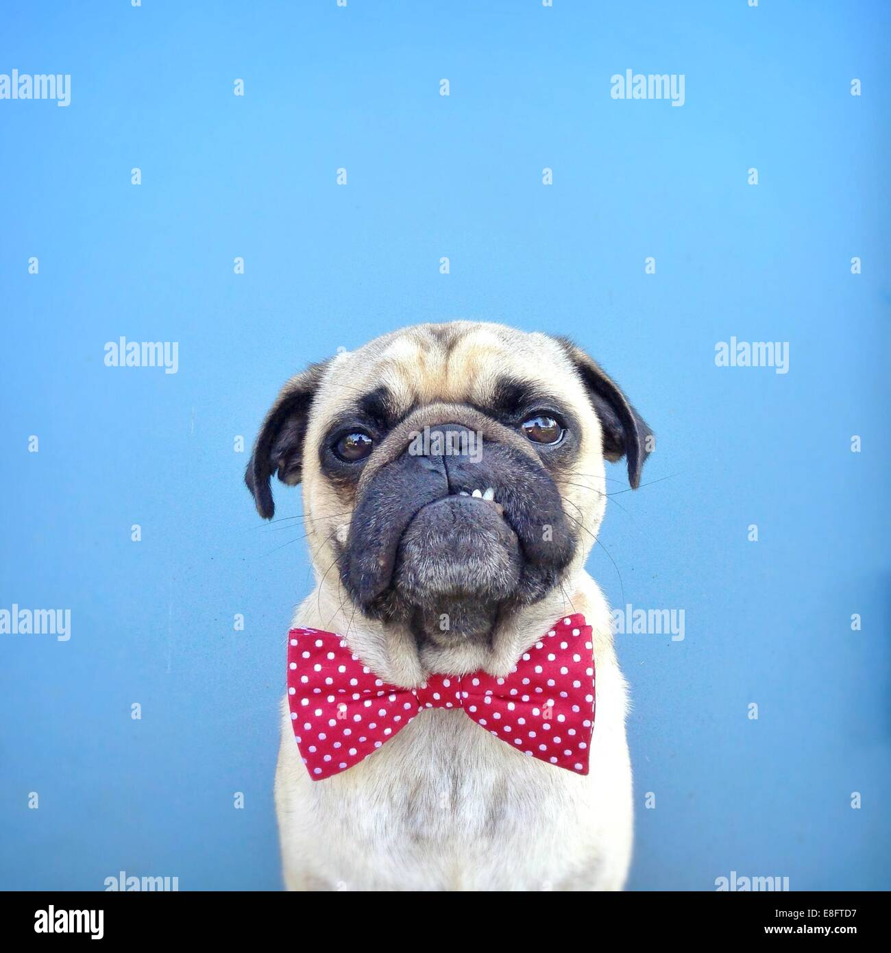 Portrait of a Pug dog wearing bow tie - Stock Image