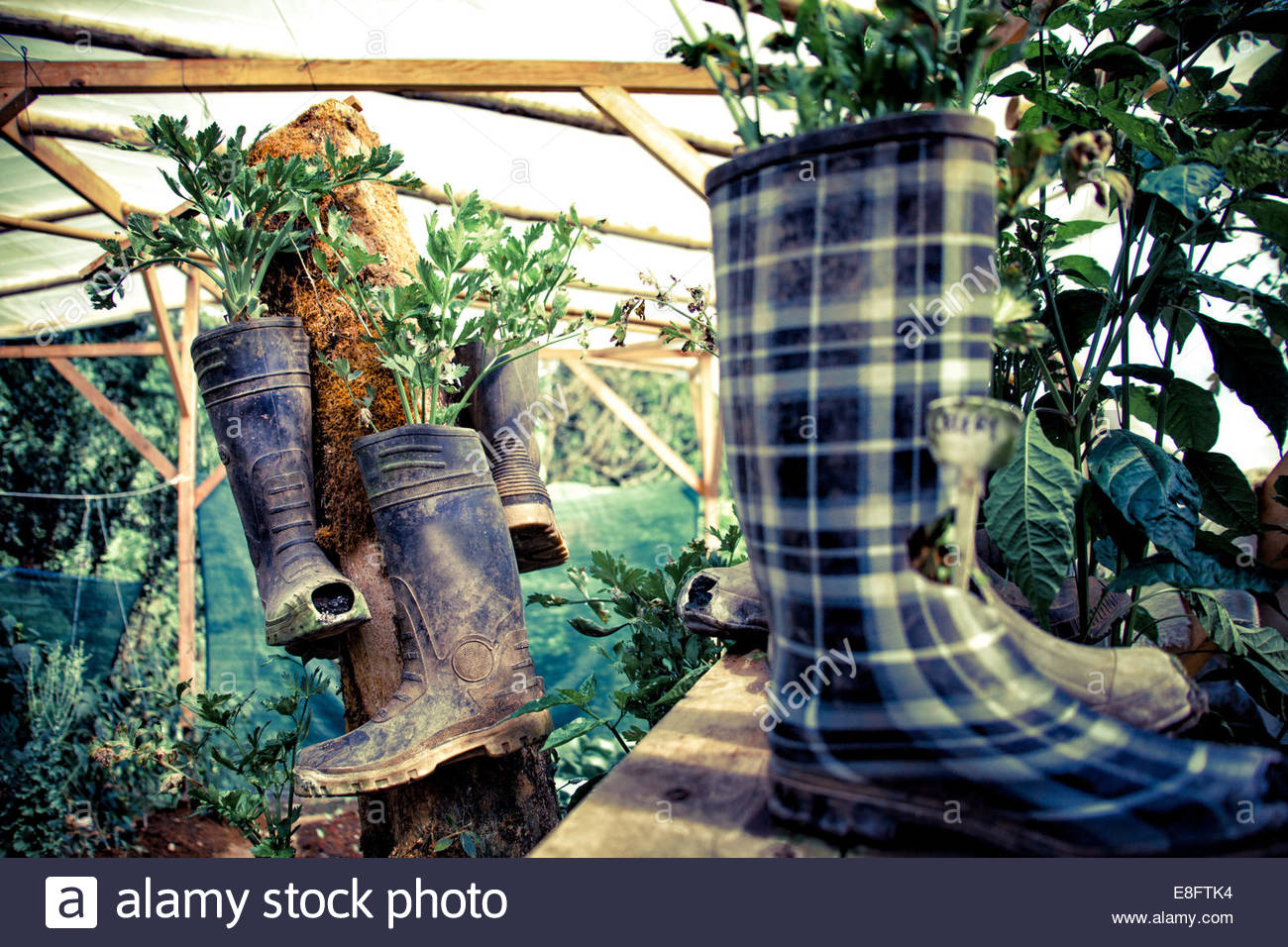 Vegetables growing in greenhouse in rubber boots, Costa Rica - Stock Image