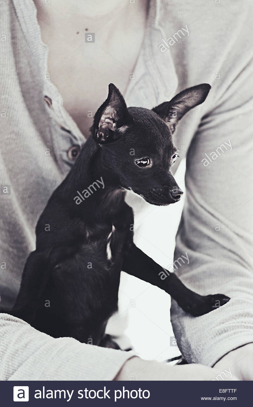 Man sitting with chihuahua on his lap - Stock Image