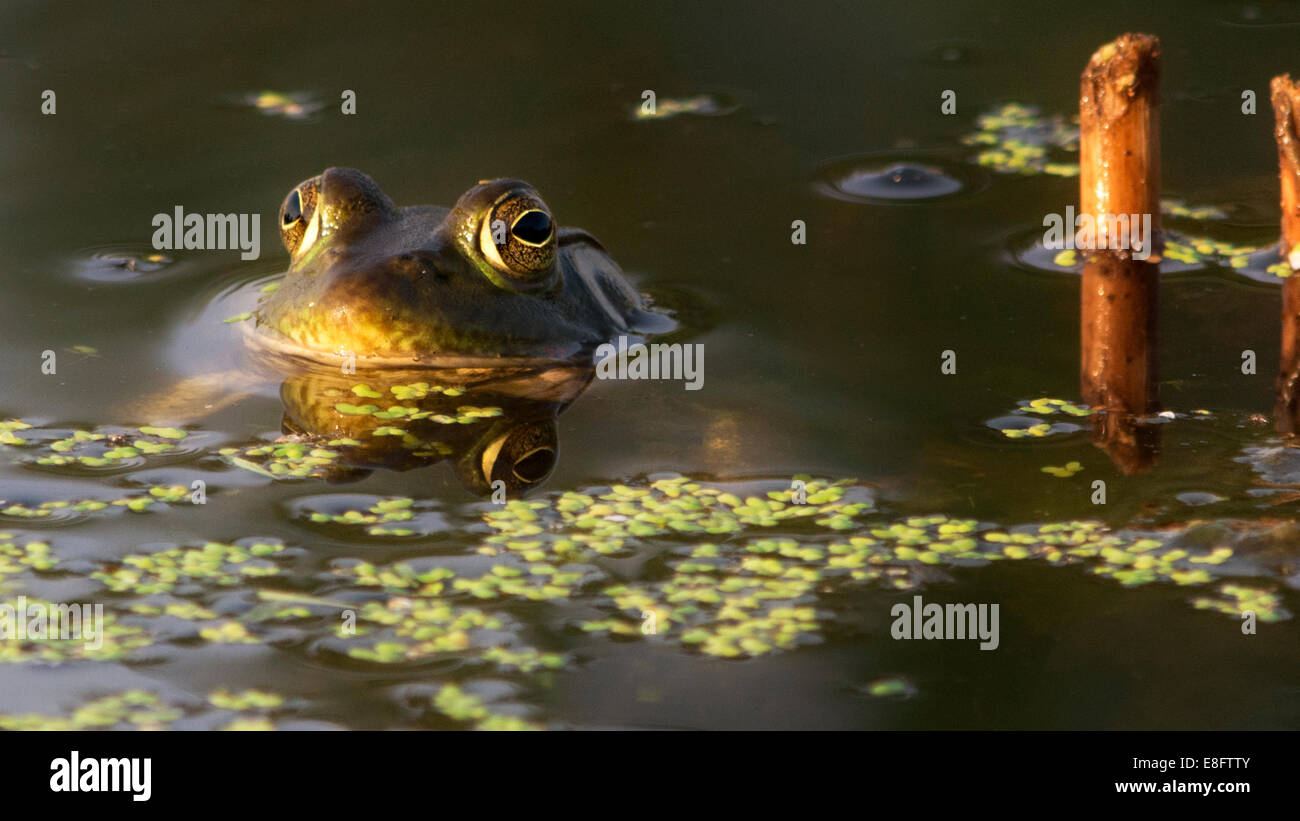 Frog resting in water - Stock Image