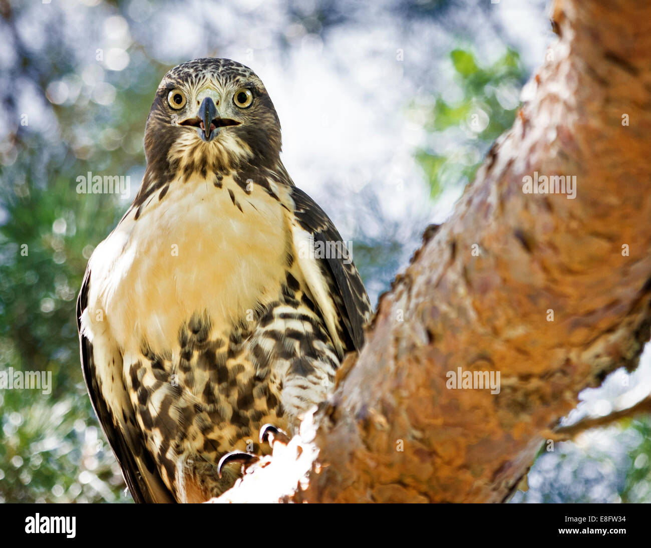 USA, Colorado, Denver, Red-tailed Hawk (Buteo jamaicensis) in City Park - Stock Image