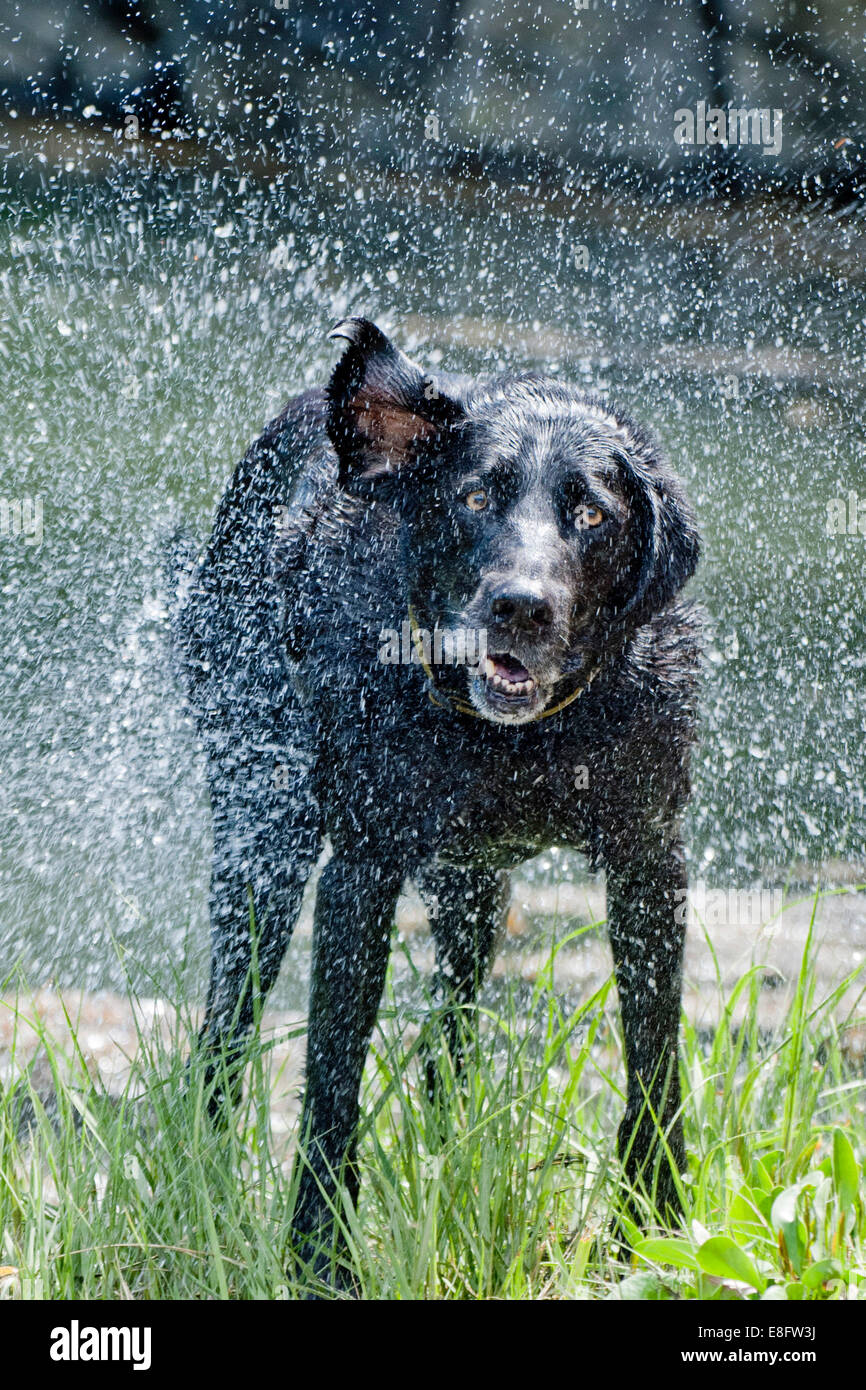 Dog drying off - Stock Image