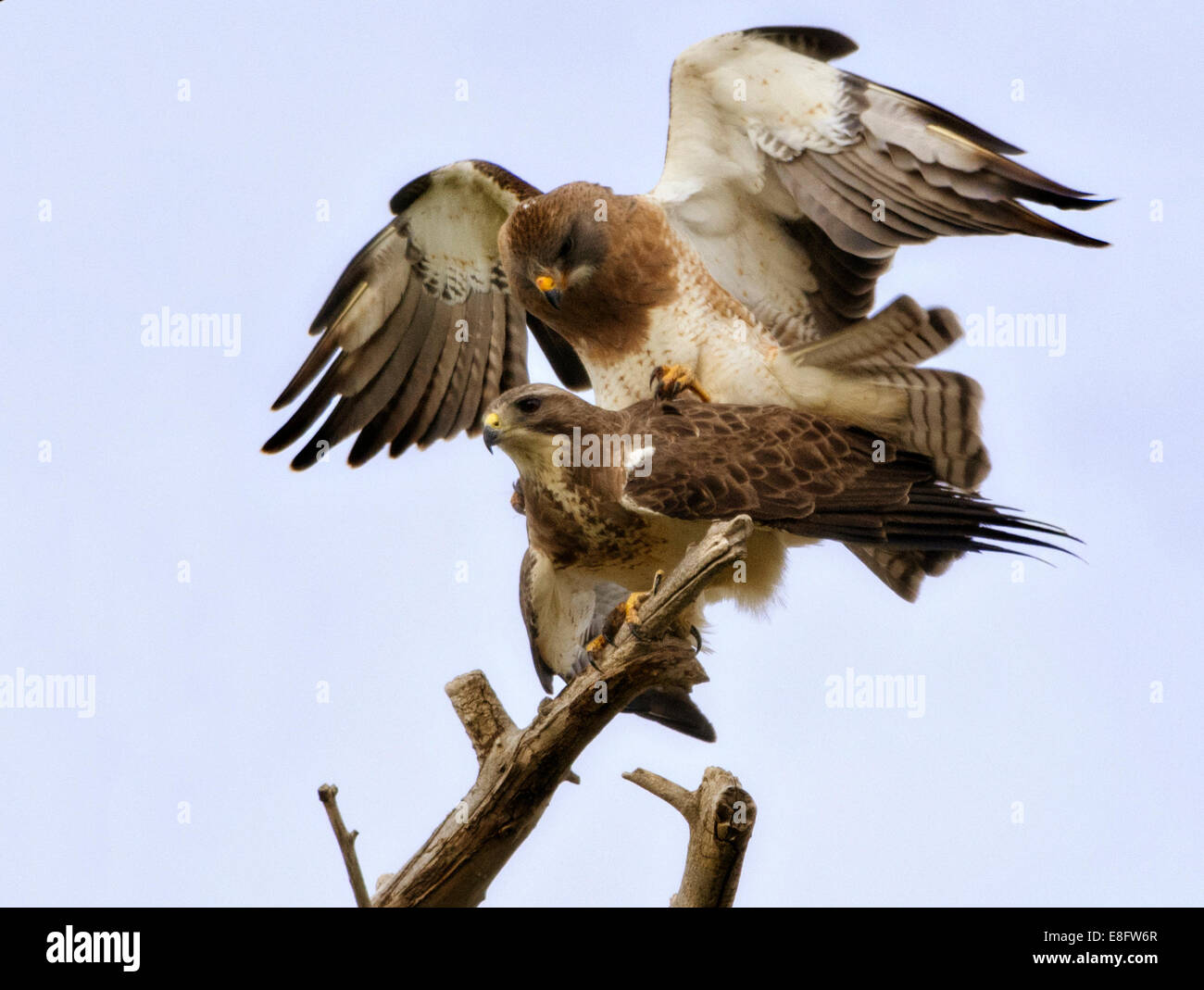 USA, Colorado, Mating hawks - Stock Image