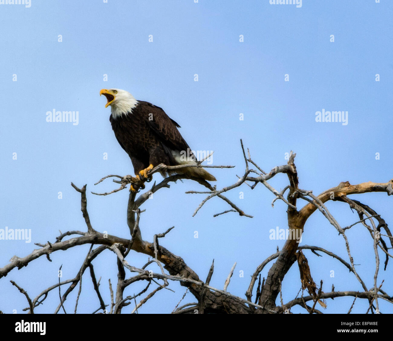 USA, Colorado, Bald Eagle Screeching in Nesting Tree - Stock Image
