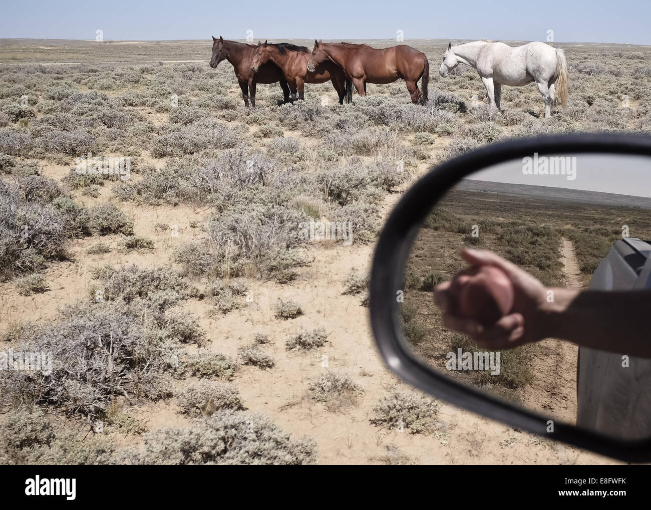 USA, Wyoming, Horses and reflection of hand with apple in side mirror - Stock Image