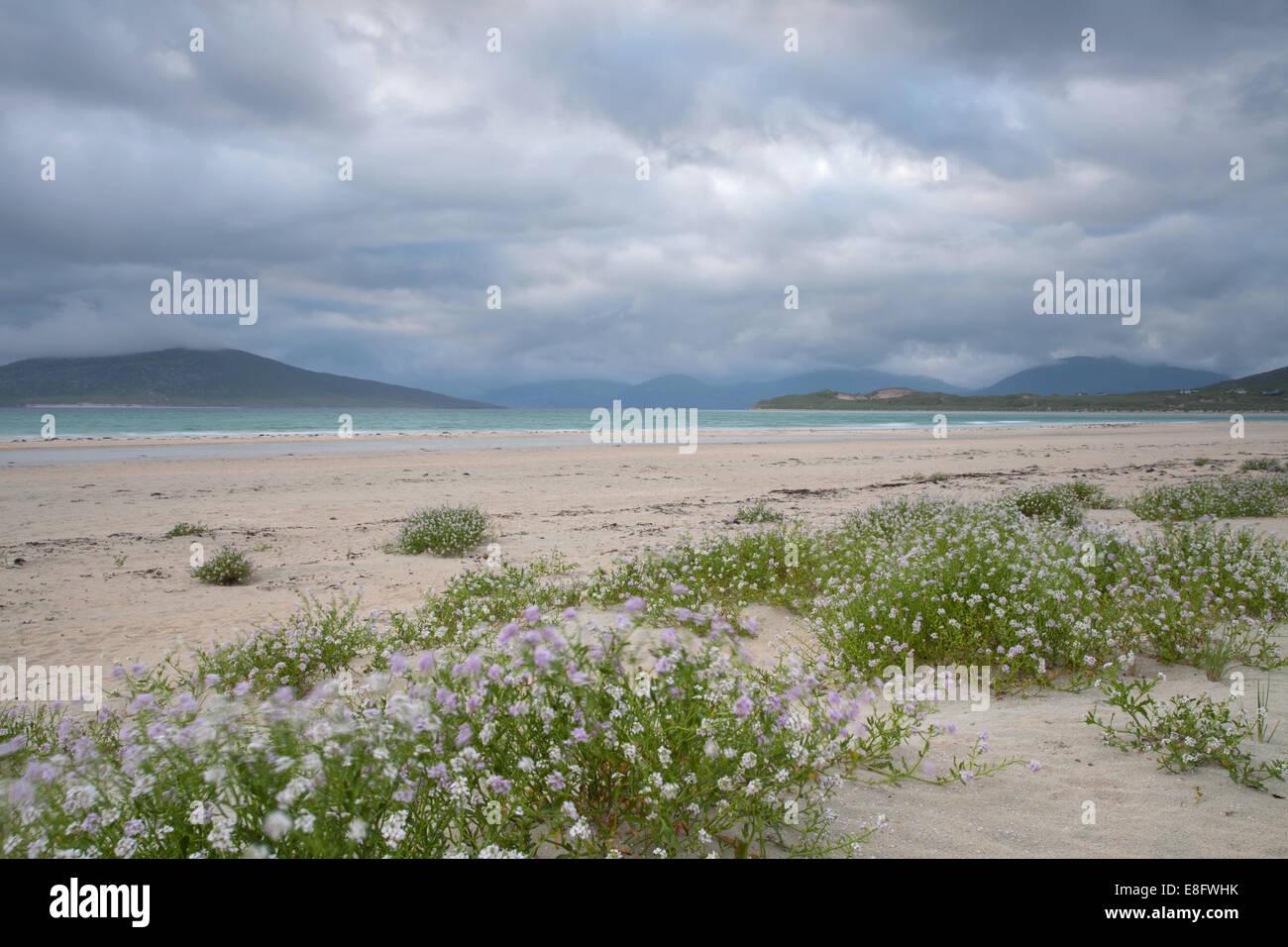 Seilebost beach pink flowers Isle of Harris, Scotland - Stock Image