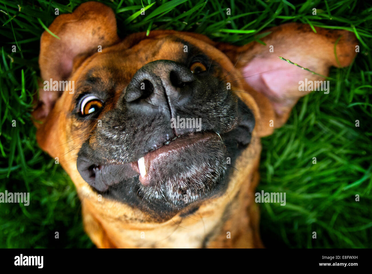 Brown dog laying playfully in grass - Stock Image