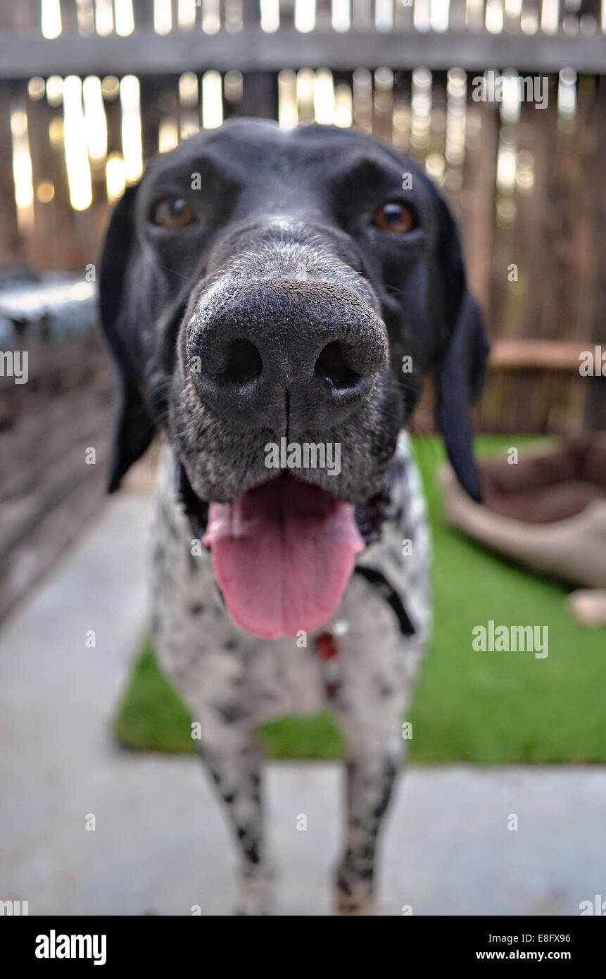 Argentina, Buenos Aires, Close-up view of dog - Stock Image