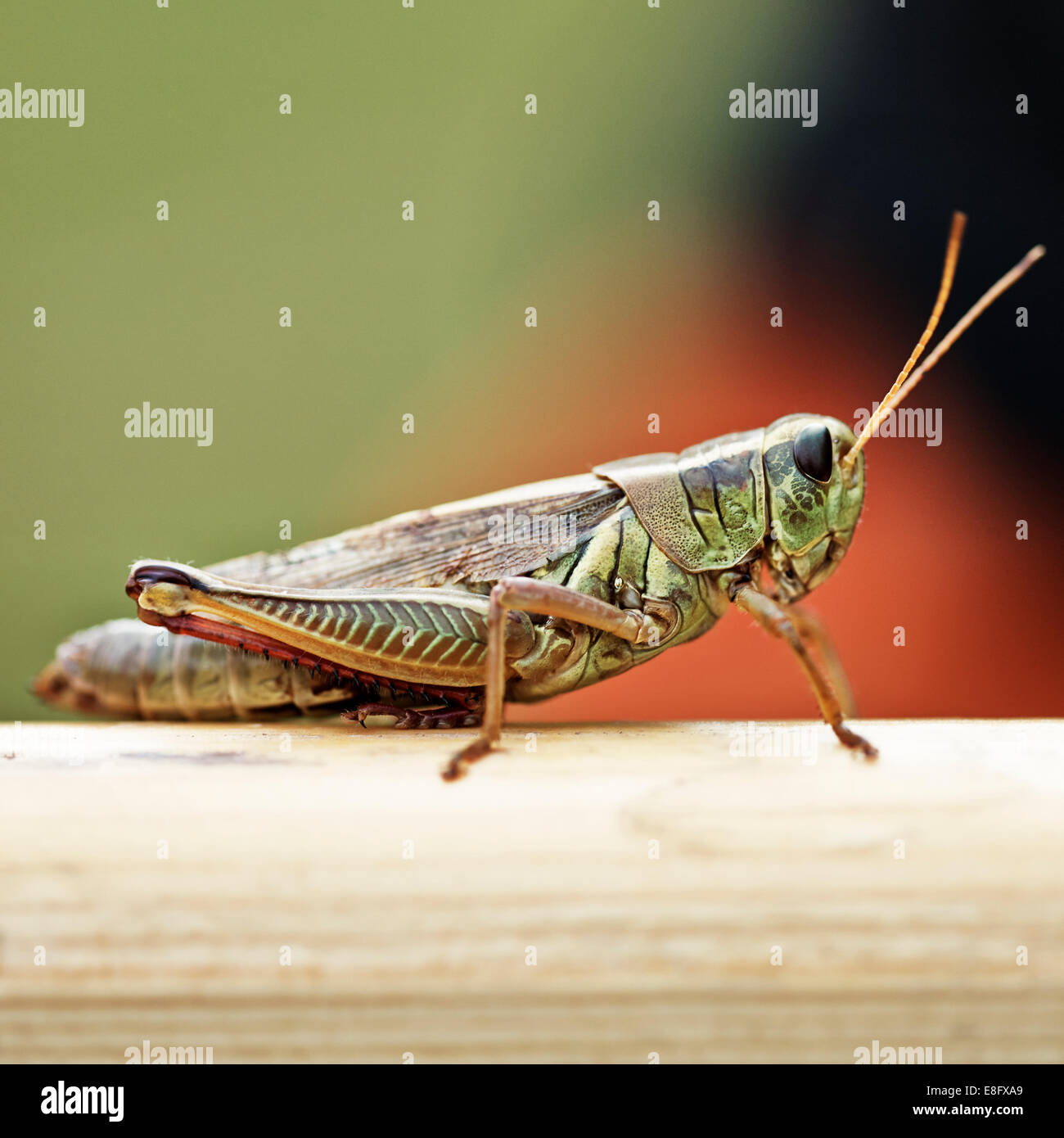 USA, New York State, Greene County, Town of Lexington, West Kill, Grasshopper in summer - Stock Image