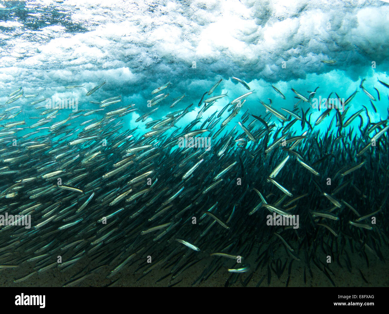 School of fish underwater - Stock Image