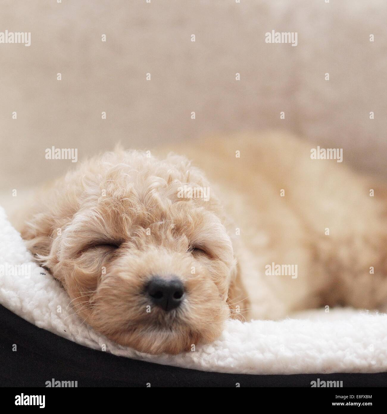 Puppy dog sleeping in basket - Stock Image