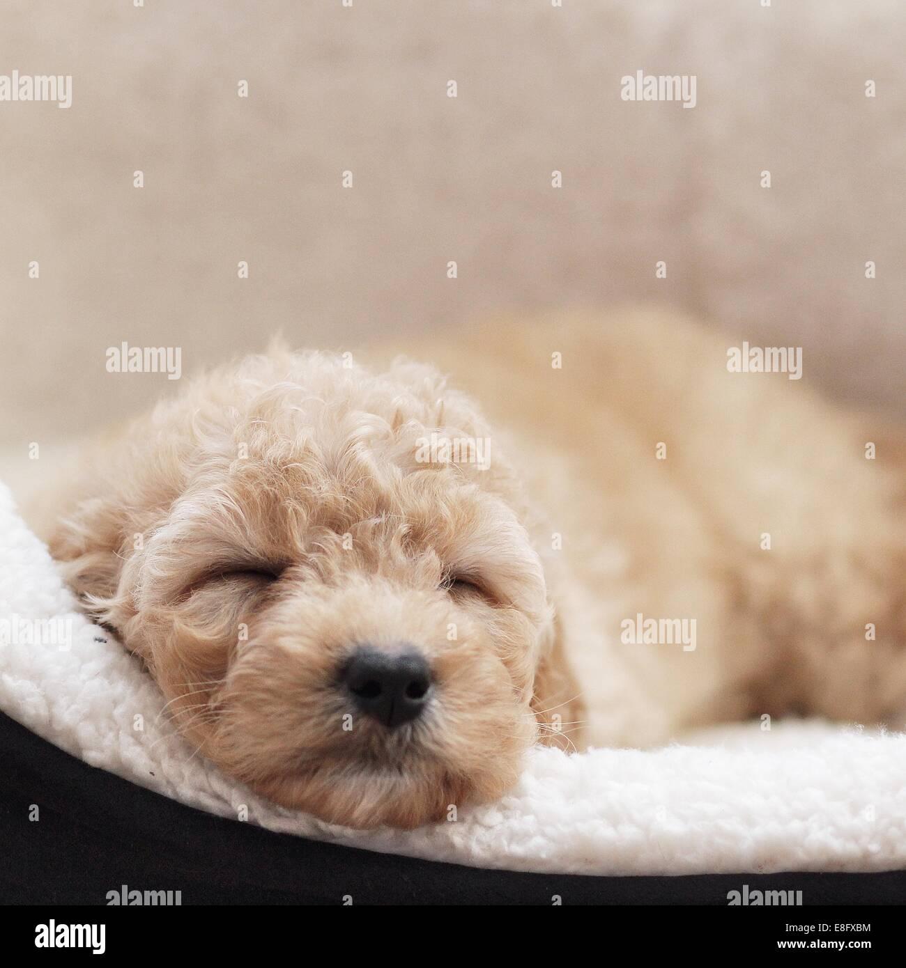 Puppy dog sleeping in basket Stock Photo