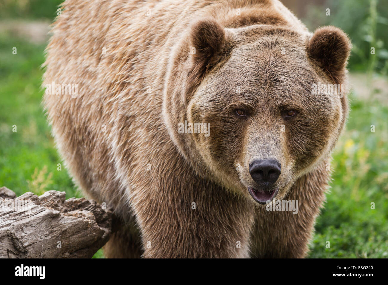 close up of an adult grizzly bear on green grass - Stock Image