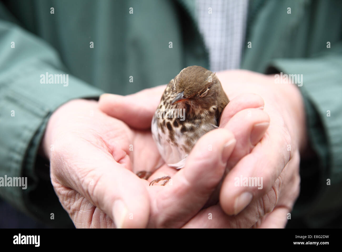 Rescued, stunned bird that flew into a window in a man's hands - Stock Image