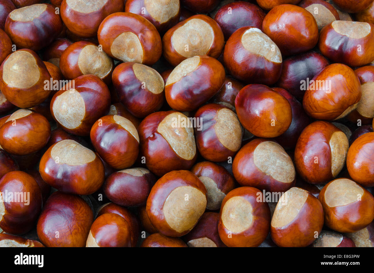 Bountiful supply of fresh Horse-chestnuts (conkers) - Stock Image