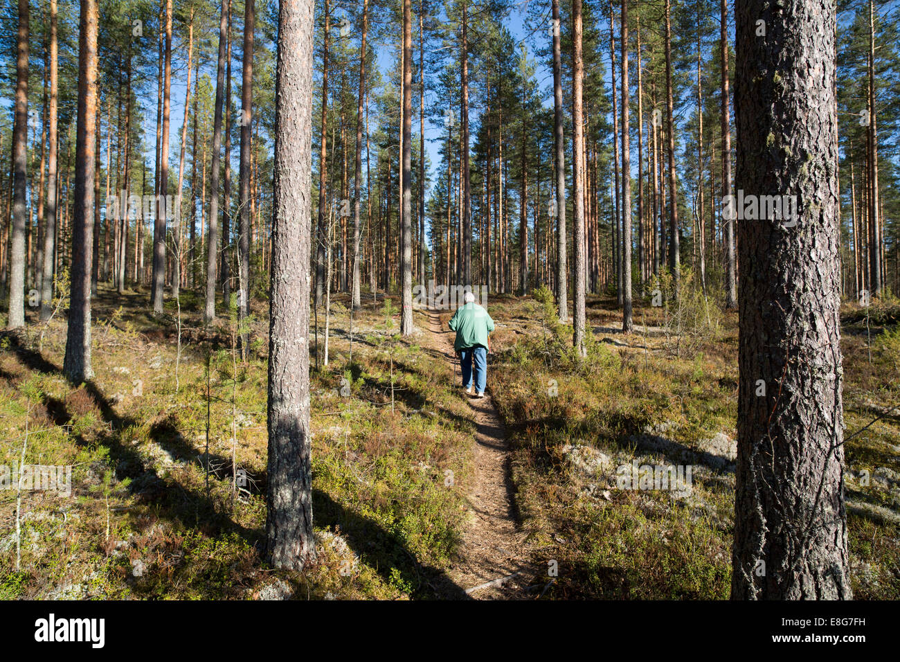 Elderly woman nordic walking in the forest , Finland - Stock Image
