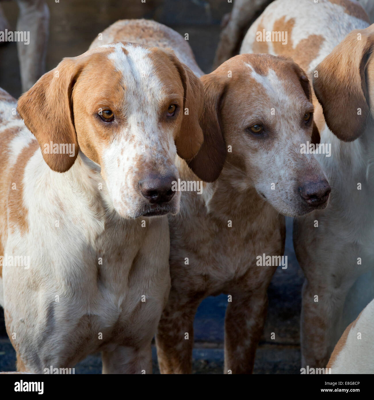 Fox hounds, North Yorkshire, England - Stock Image