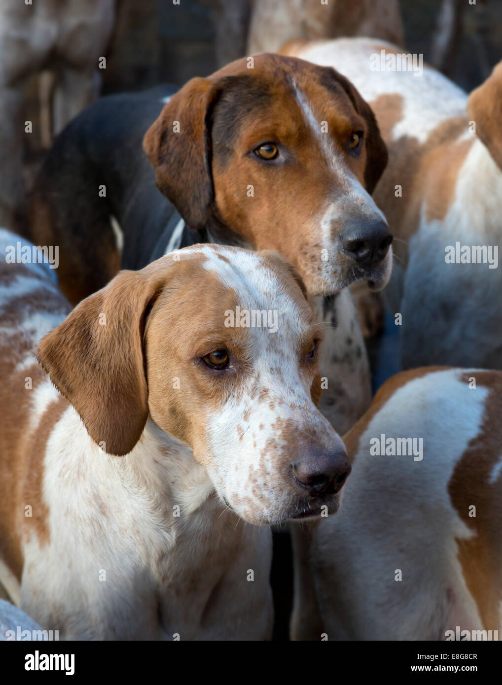Middleton Hunt fox hounds, North Yorkshire, England - Stock Image