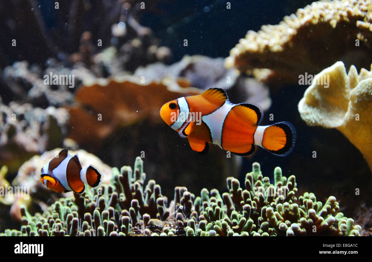 Amphiprion Ocellaris (Clownfish), London Zoo, England - Stock Image