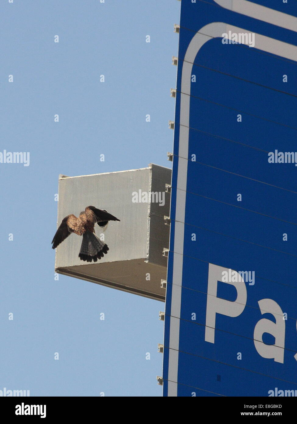 A common Kestrel entering its nest, formed in the gantry of an overhead motorway sign. - Stock Image
