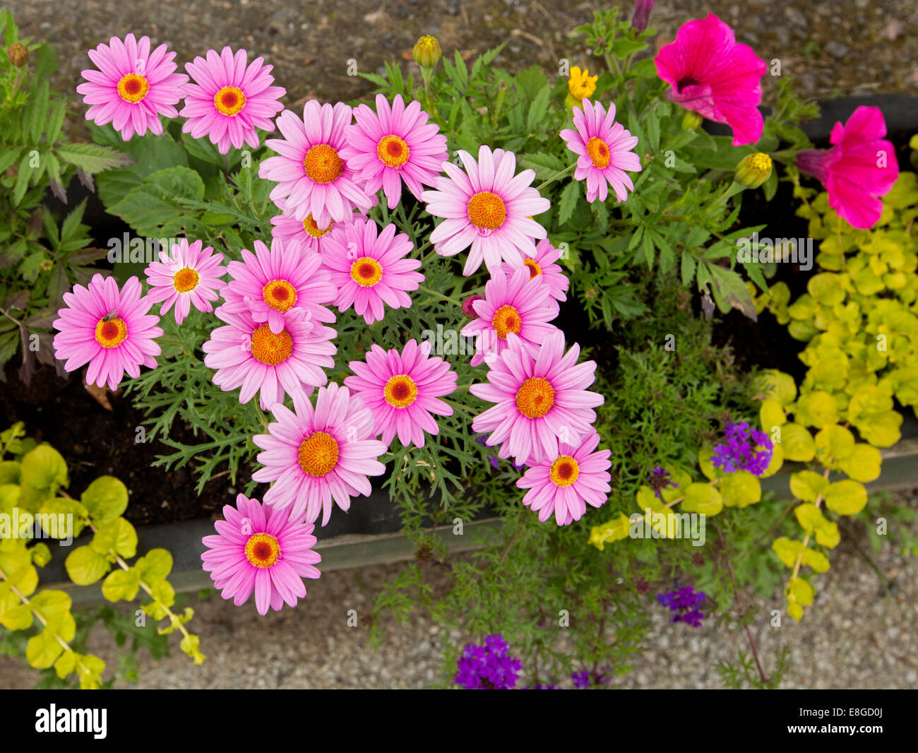 Cluster of vivid pink flowers with yellow red centres and fern cluster of vivid pink flowers with yellow red centres and fern like foliage of leucanthemum daisies with red petunias and purple verbena mightylinksfo