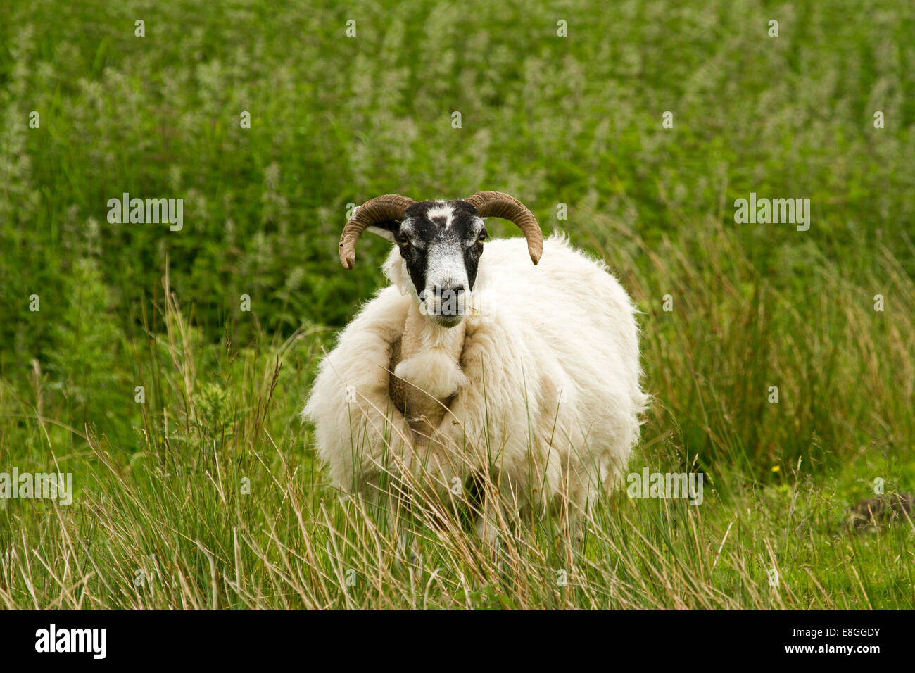 Swaledale sheep, an ancient breed, with long thick white wool, black face, and long curved horns among emerald grass, - Stock Image