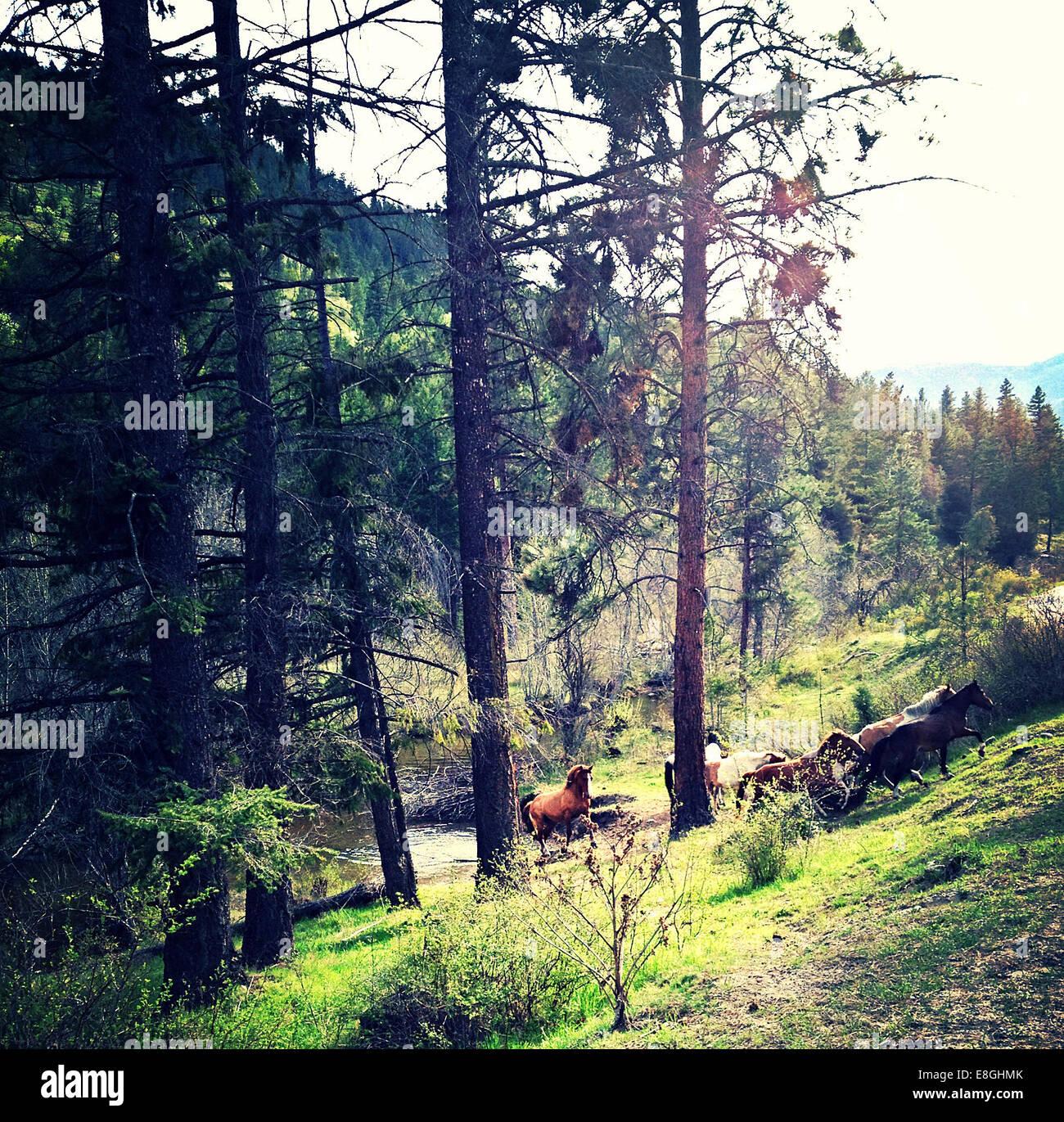 Canada, British Columbia, Okanogan Wild Horses - Stock Image