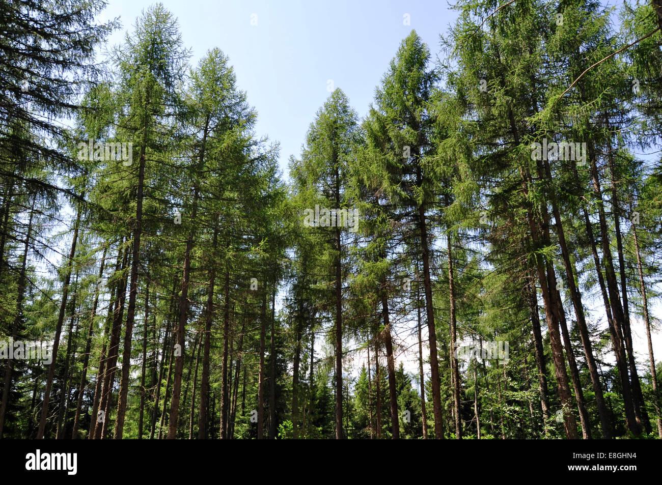 Italy, Balsegna di Pina, Pine tree forest Stock Photo