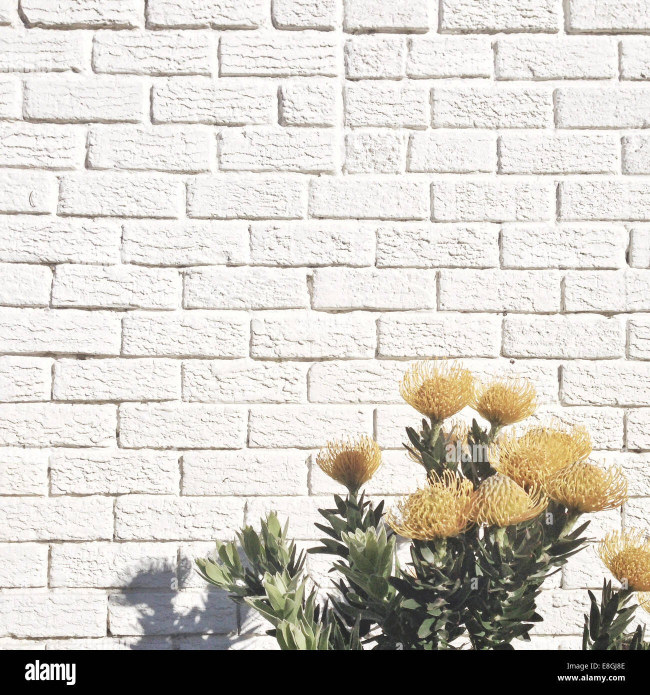 Yellow Flowers Against White Brick Wall Stock Photo Alamy