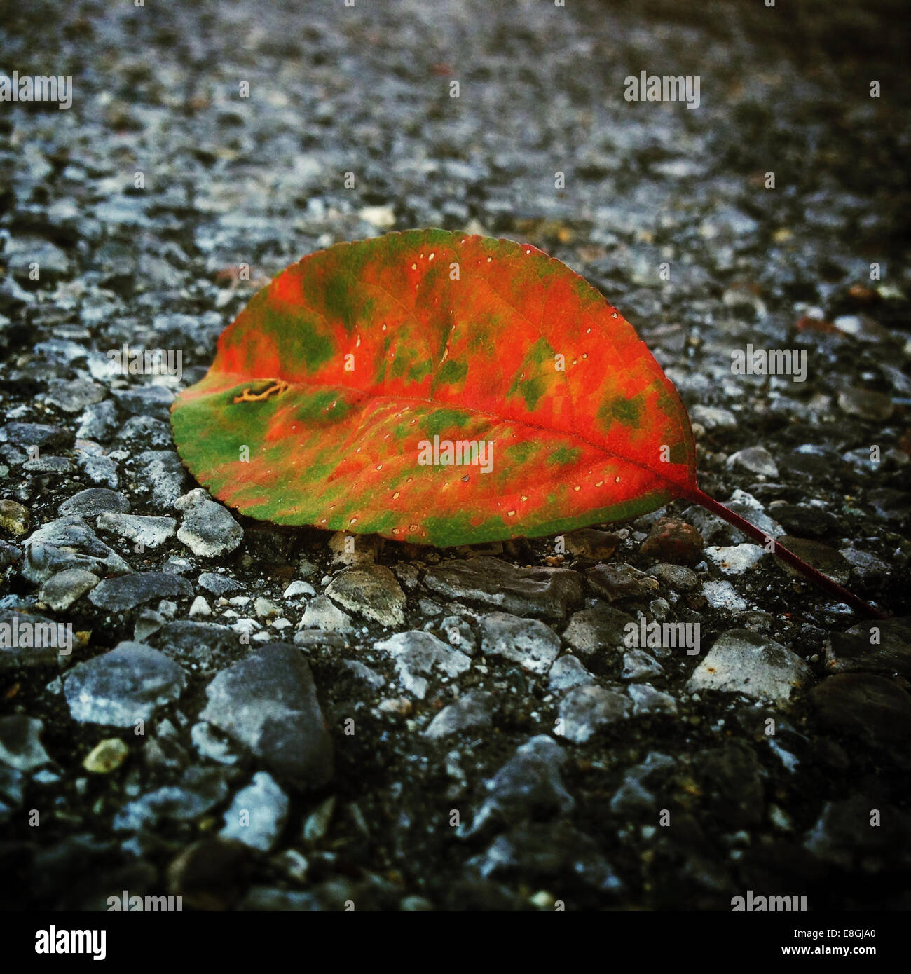 Close-up of leaf on ground - Stock Image