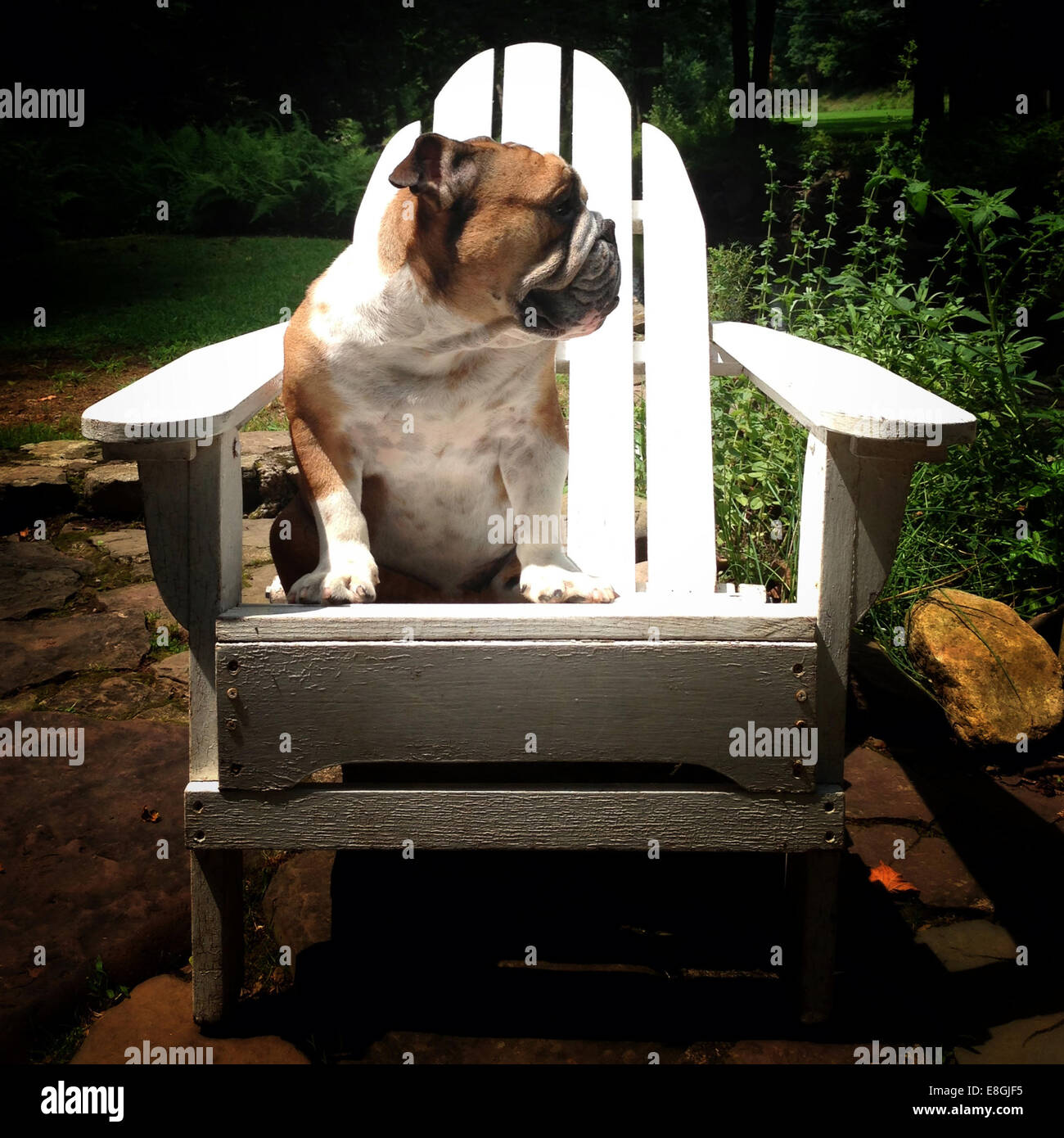 Dog sitting on a wooden chair in the garden - Stock Image