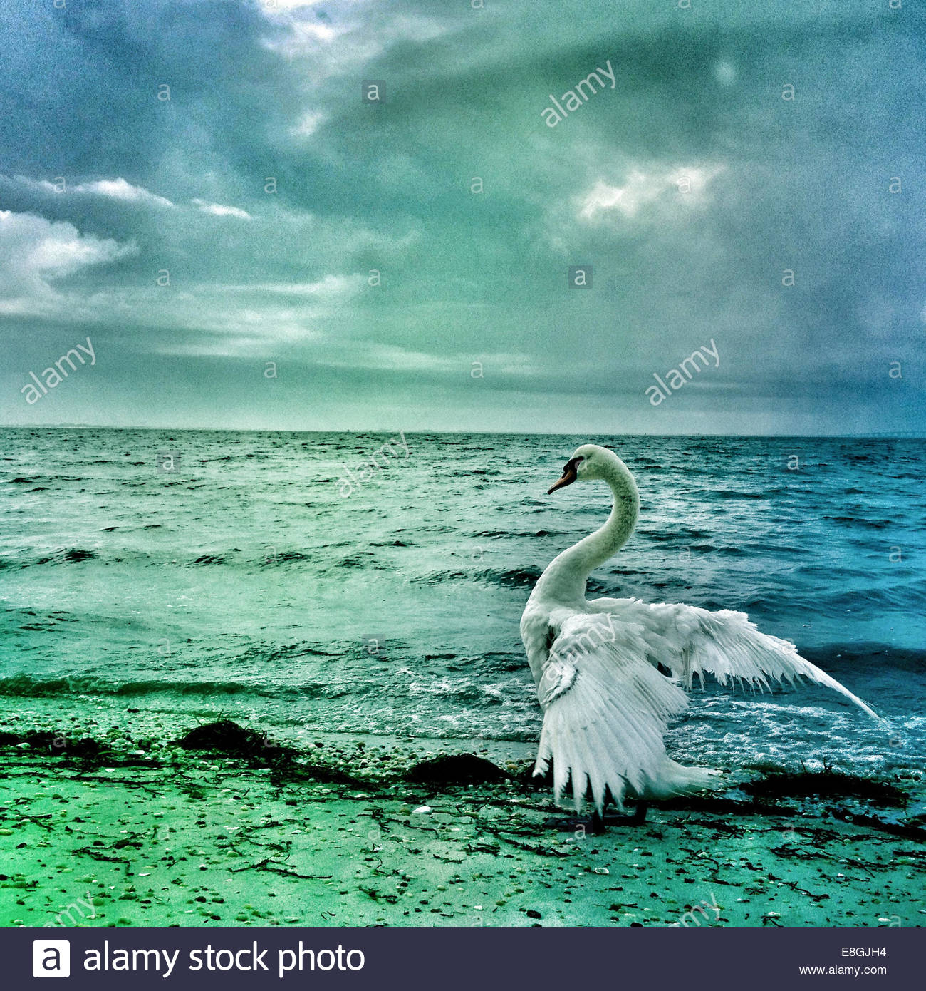 Swan in the sea - Stock Image