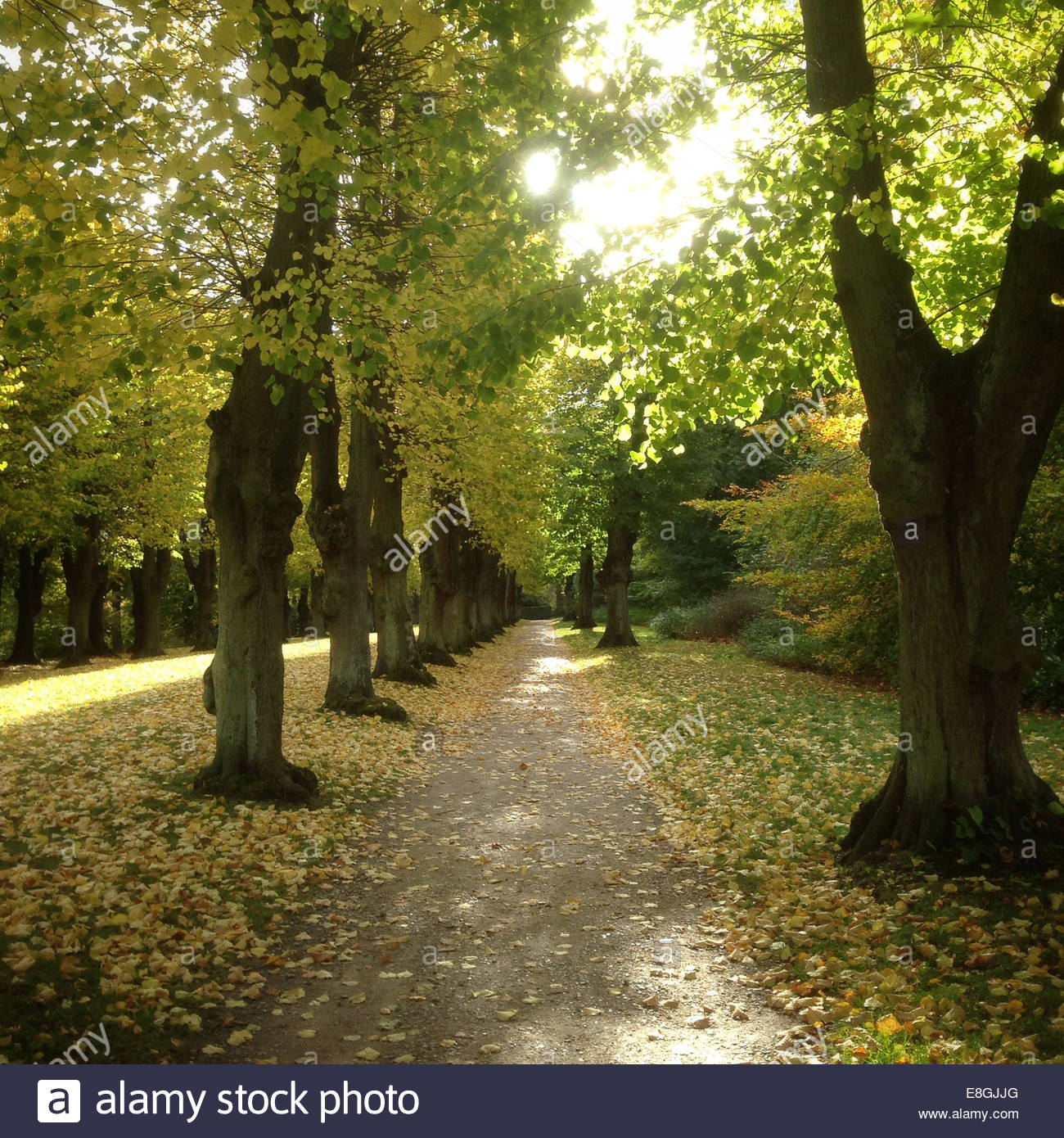 Tree lined path - Stock Image