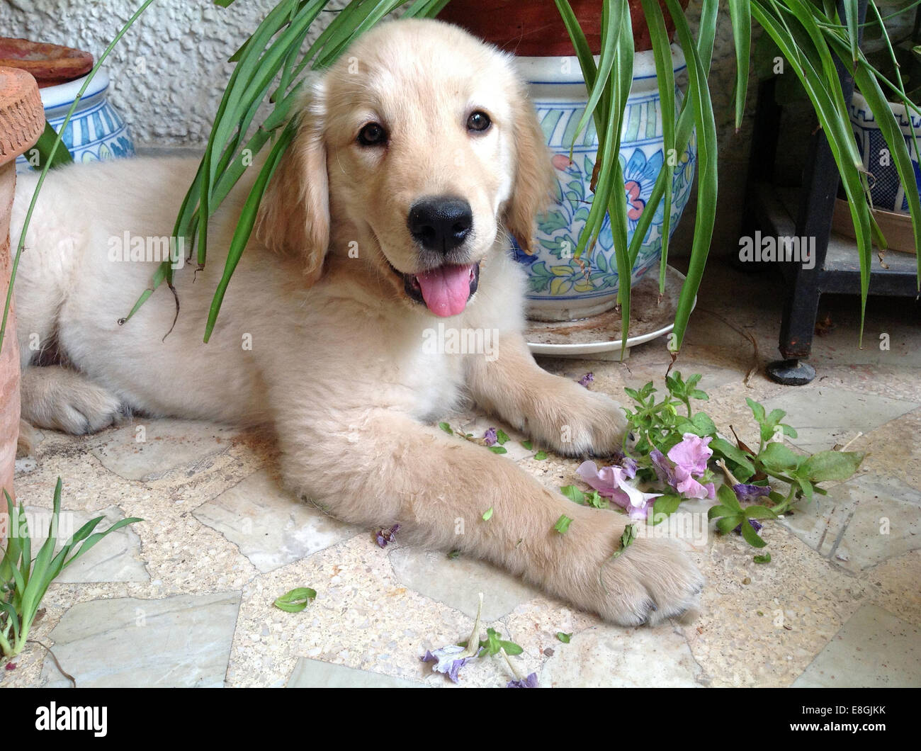 Golden Retriever puppy chewing plants - Stock Image