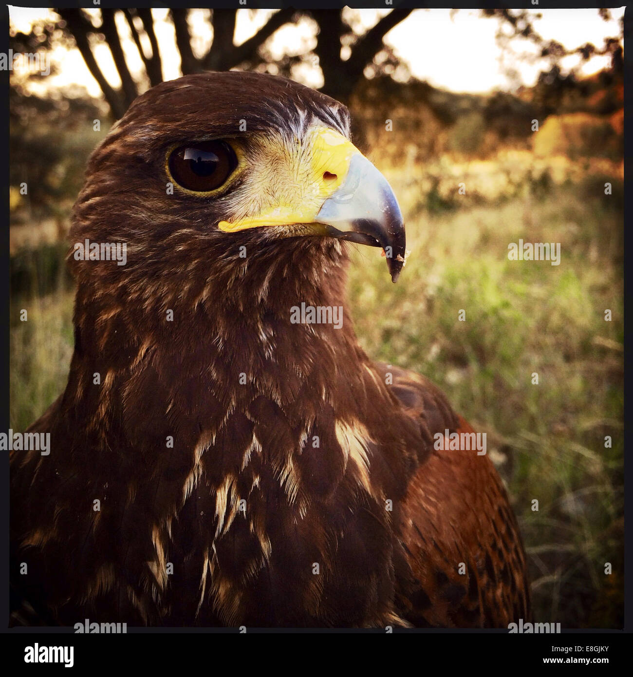 Portrait of a Harris Hawk (parabuteo unicinctus) bird, Mexico - Stock Image