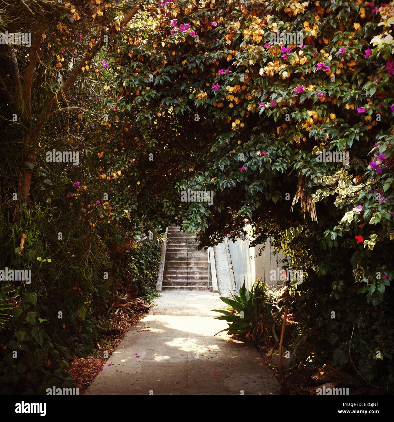 Large green shrub over concrete path leading to steps - Stock Image