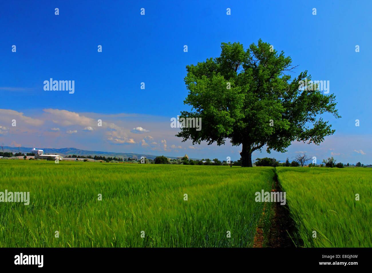 USA, Idaho, Bonneville County, Idaho Falls, Tree in farmer's field on summer day - Stock Image