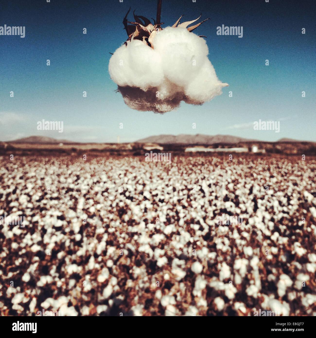 Cotton Field, Hatch, New Mexico, America, USA - Stock Image
