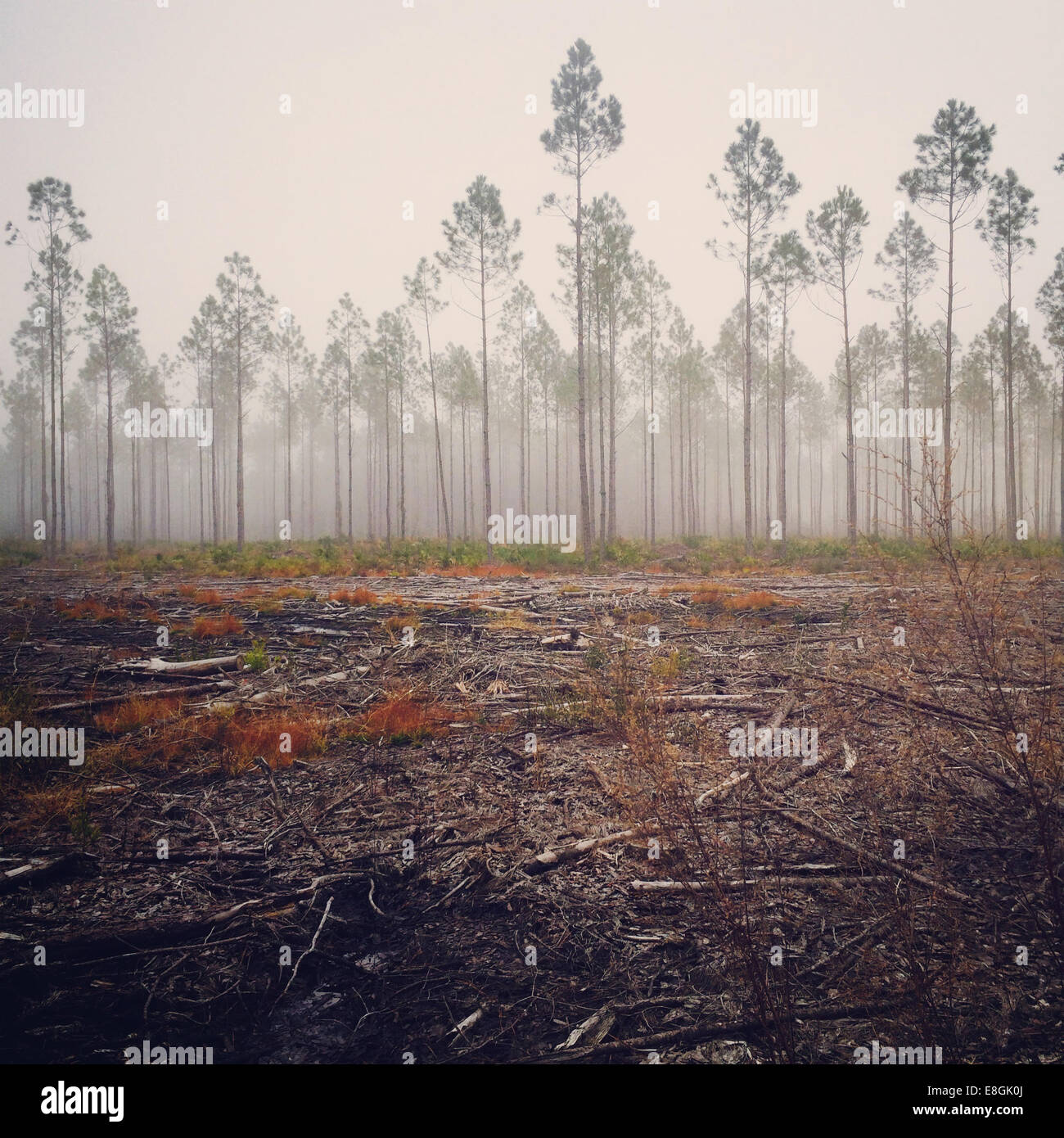 View of pine tree in fog, America, USA Stock Photo