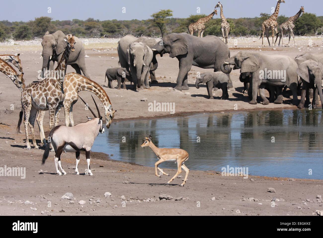 Elephants, giraffes, oryx drinking at watering hole, Namibia - Stock Image