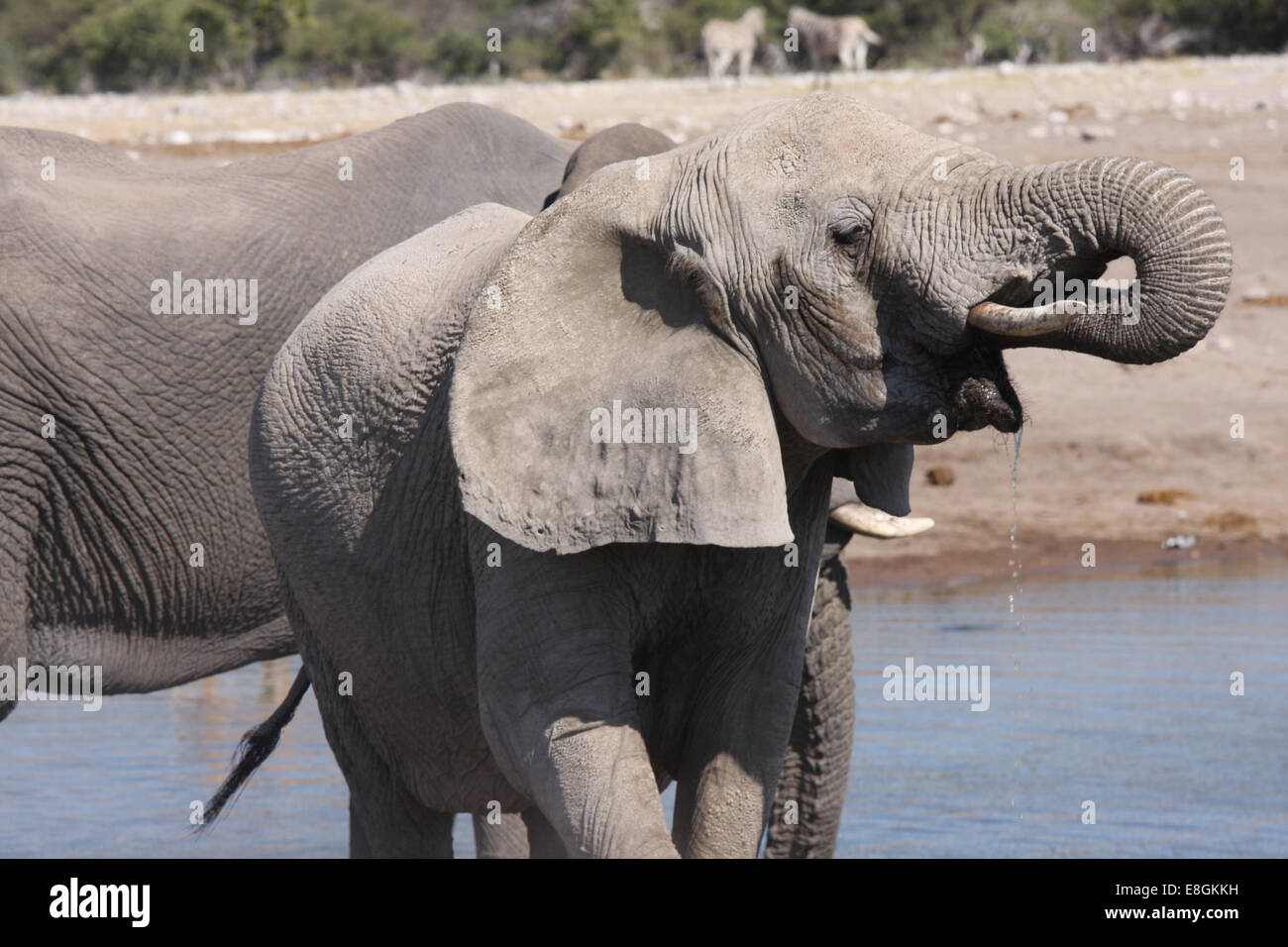 Portrait of an Elephant drinking at watering hole, Namibia - Stock Image