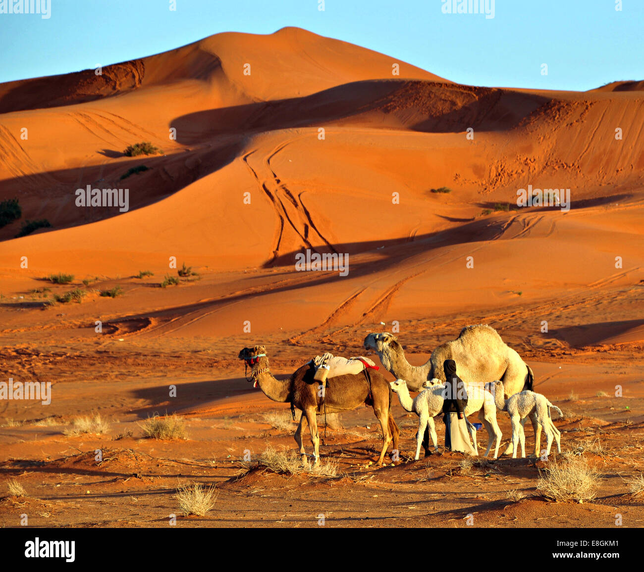 Saudi Arabia, Ghuwaymid, Zulfi St, Person with camels in desert - Stock Image