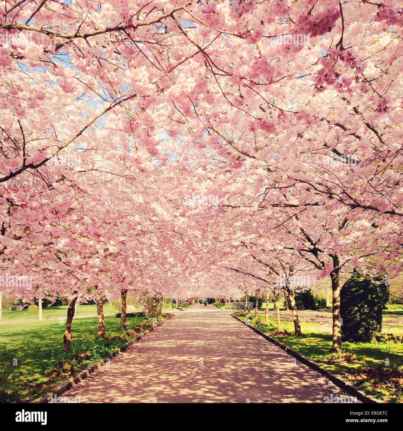 Denmark, Copenhagen, View of blossom cherry trees - Stock Image