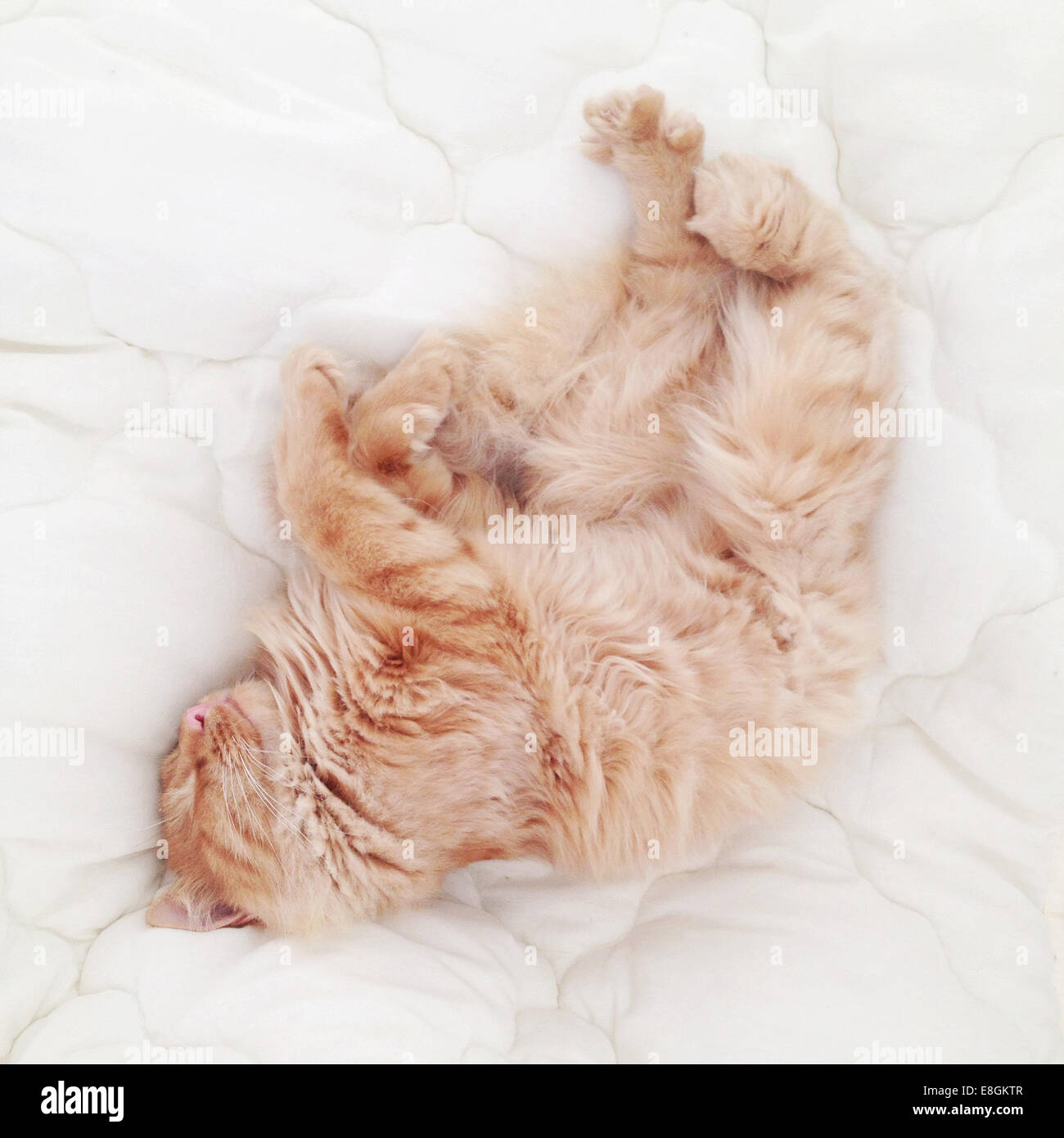 Two ginger cats sleeping on a bed in sunlight - Stock Image