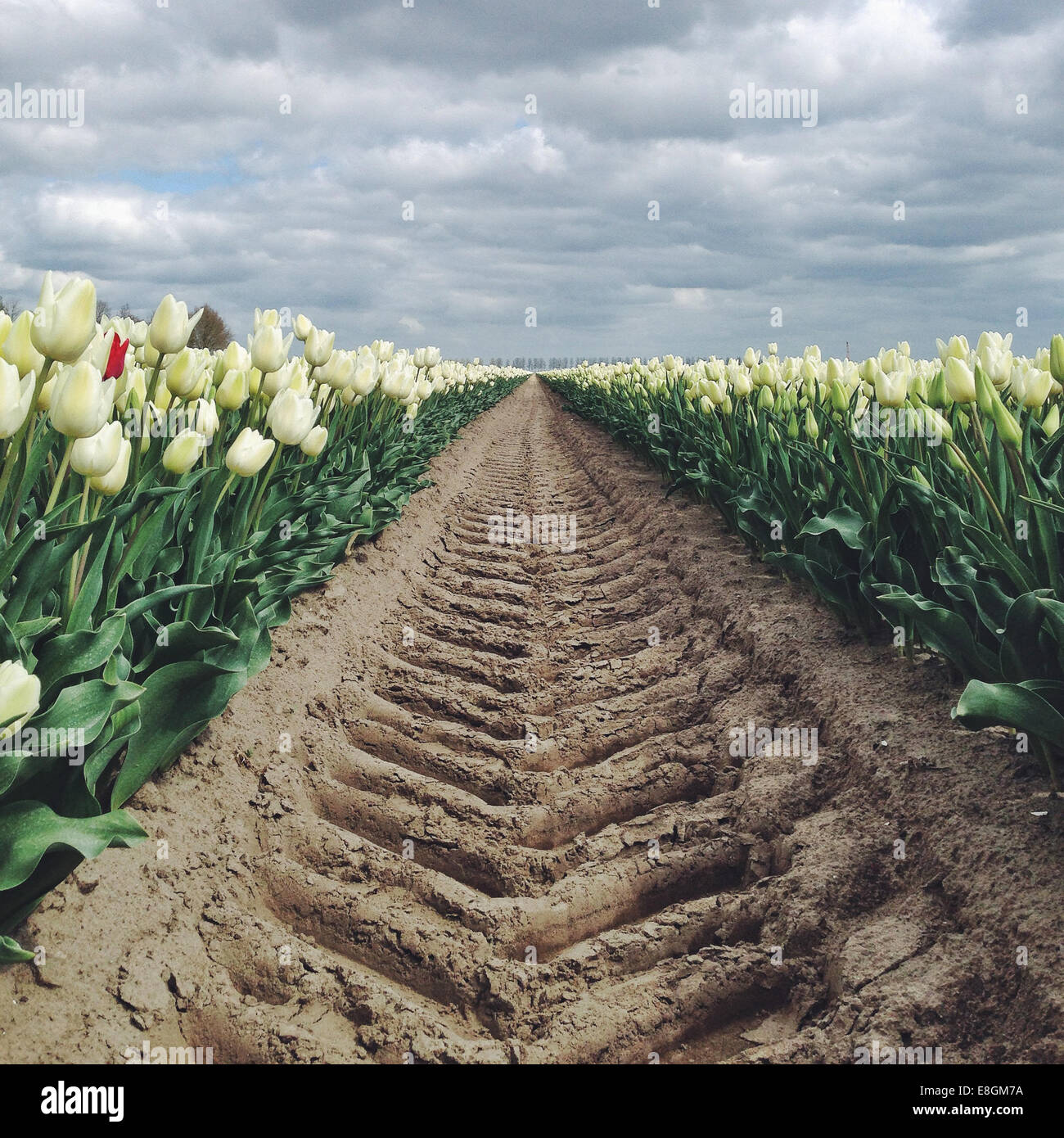 The Netherland, Holland, Tyre track on tulip field - Stock Image