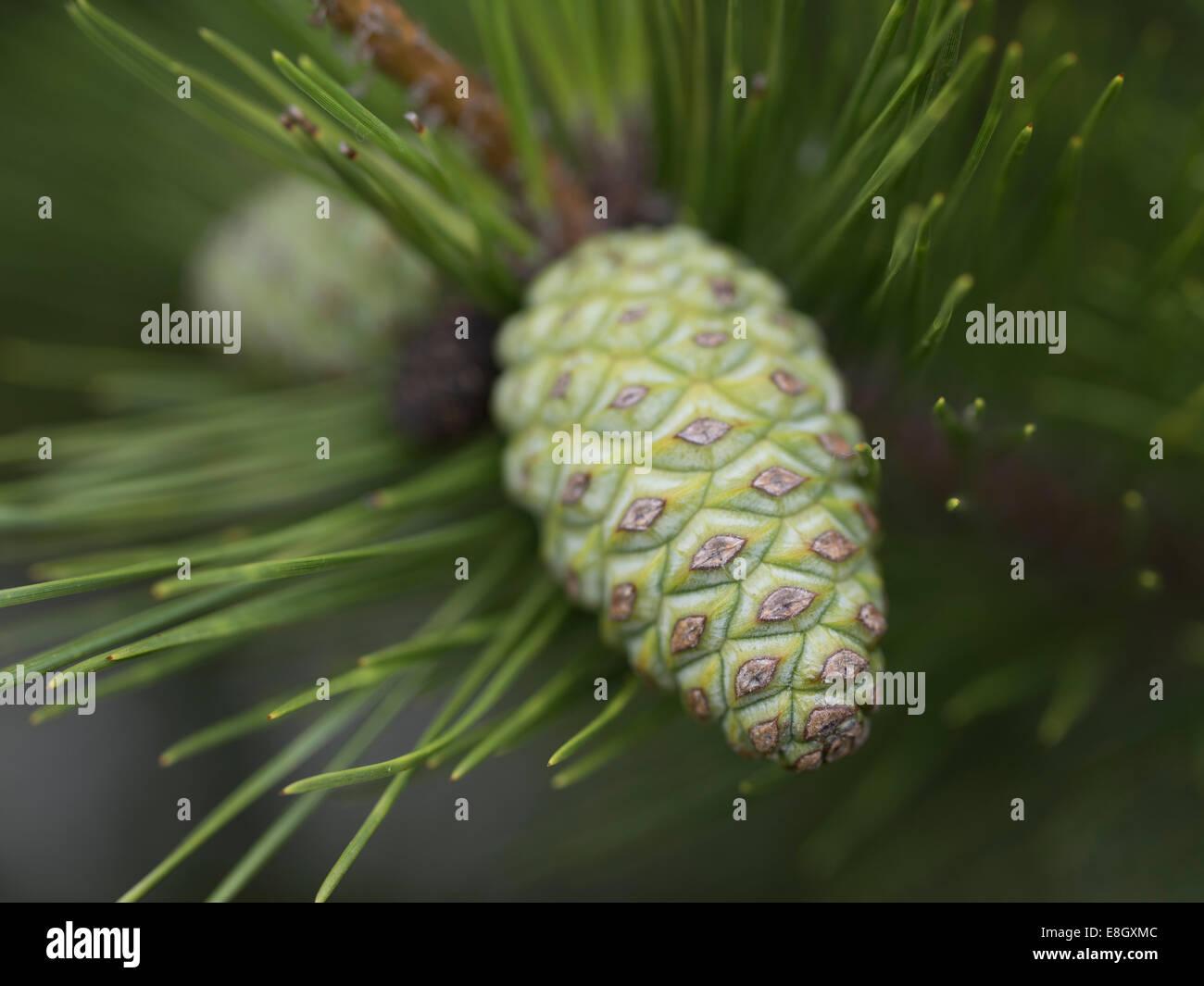 Young Pine Cone. Naoshima, Japan - Stock Image